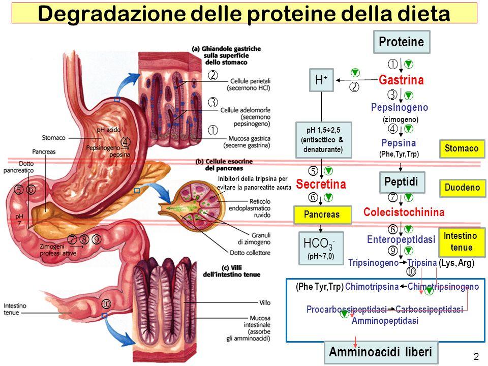 Degradazione delle proteine della dieta