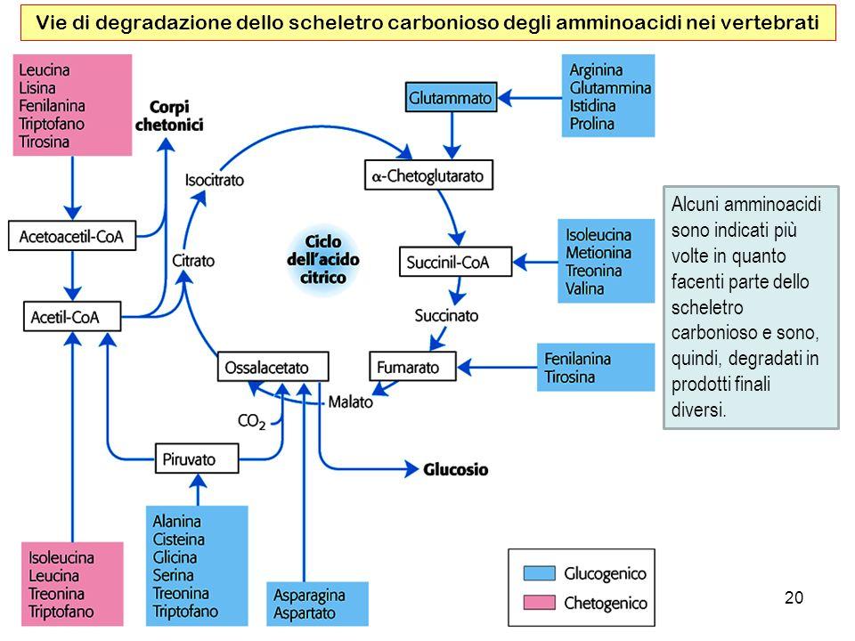 Vie di degradazione dello scheletro carbonioso degli amminoacidi nei vertebrati