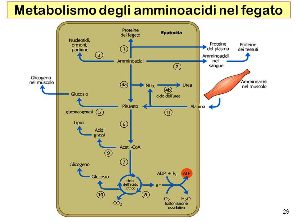Metabolismo degli amminoacidi nel fegato