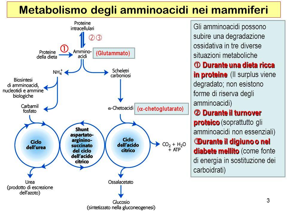 Metabolismo degli amminoacidi nei mammiferi