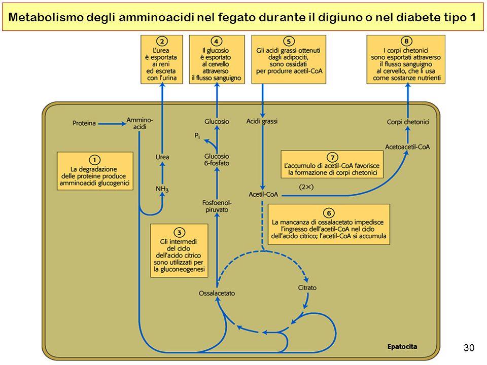 Metabolismo degli amminoacidi nel fegato durante il digiuno o nel diabete tipo 1