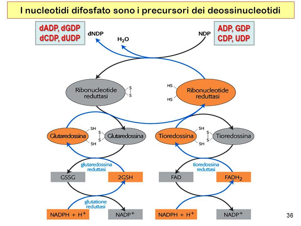 I nucleotidi difosfato sono i precursori dei deossinucleotidi