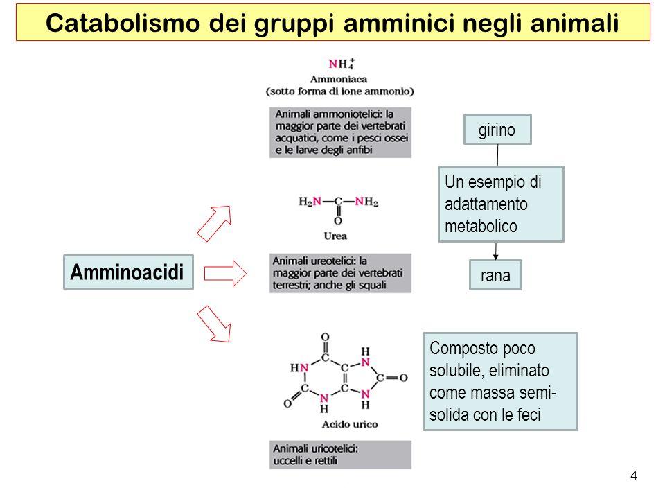 Catabolismo dei gruppi amminici negli animali