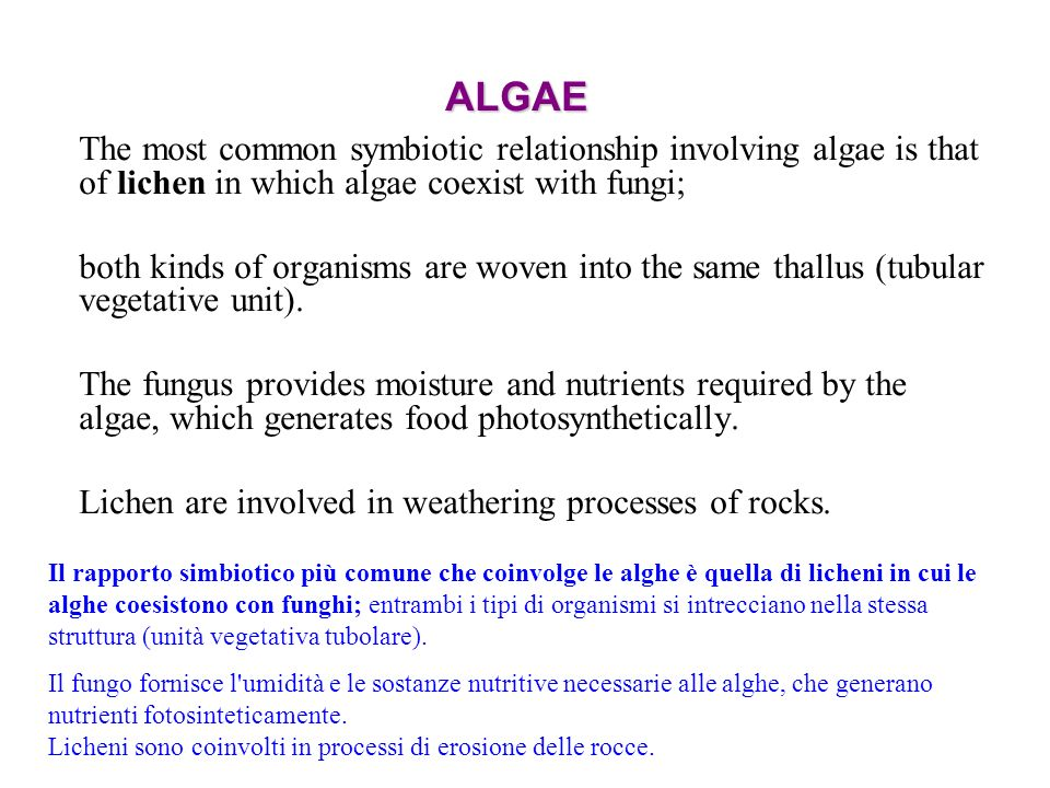 ALGAE The most common symbiotic relationship involving algae is that of lichen in which algae coexist with fungi;