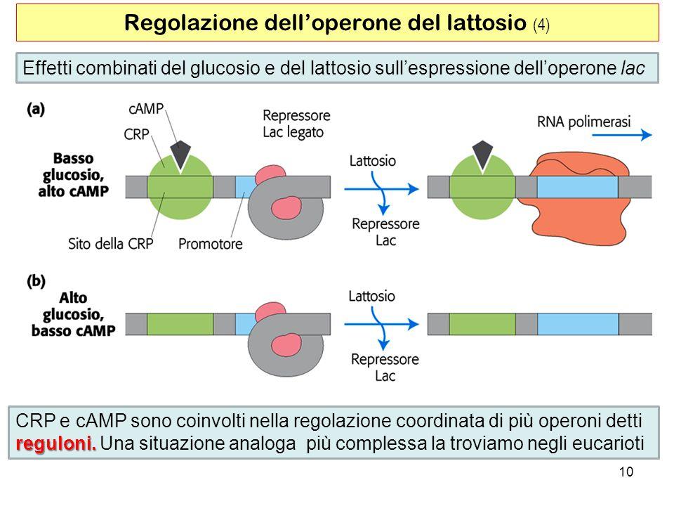 Regolazione dell'operone del lattosio (4)