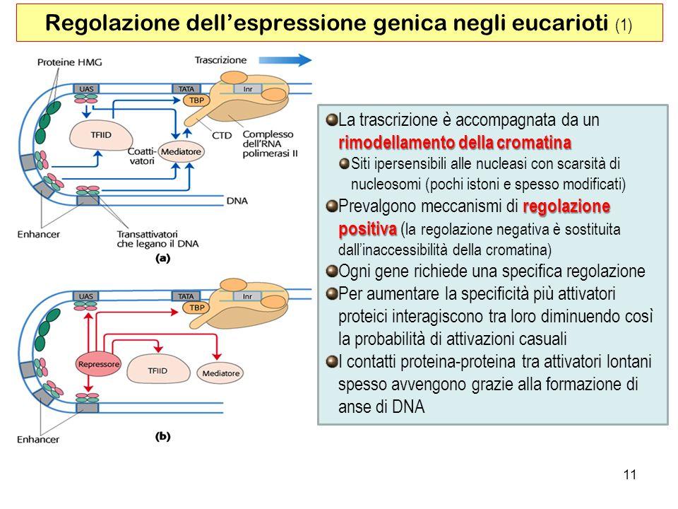 Regolazione dell'espressione genica negli eucarioti (1)