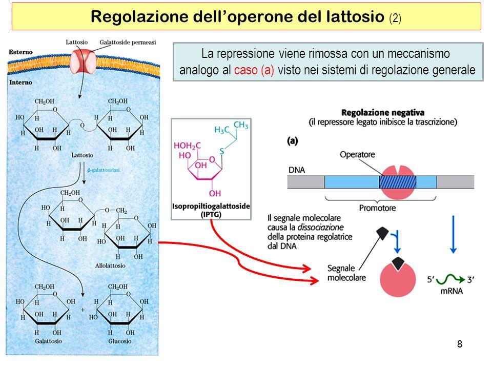Regolazione dell'operone del lattosio (2)