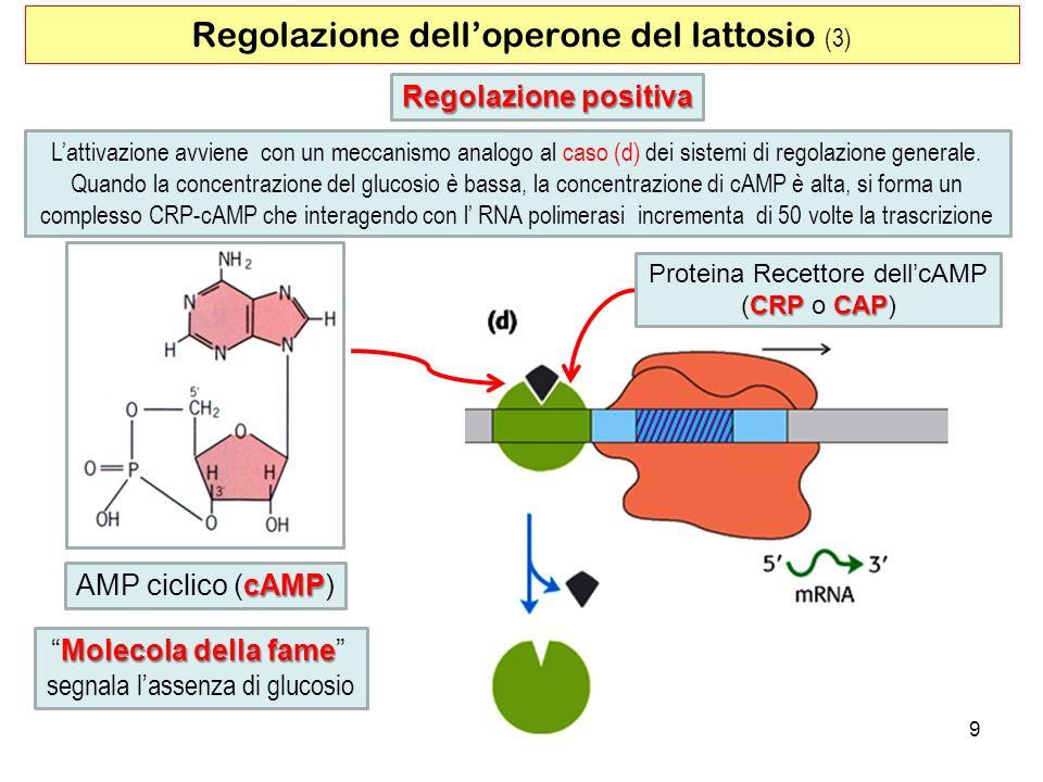 Regolazione dell'operone del lattosio (3)