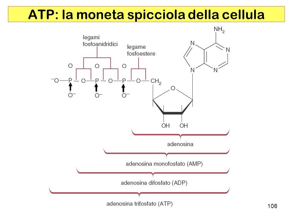 ATP: la moneta spicciola della cellula