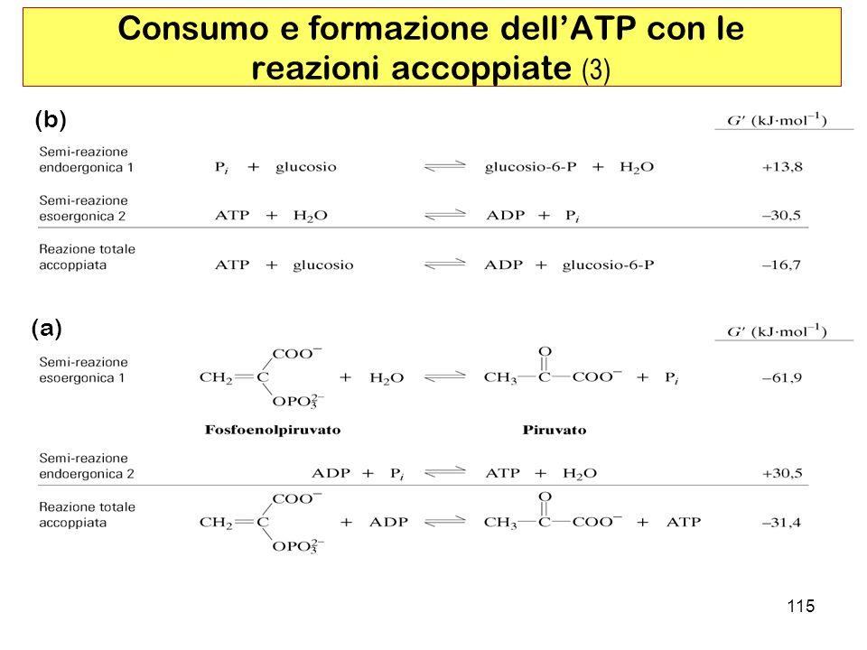 Consumo e formazione dell'ATP con le reazioni accoppiate (3)