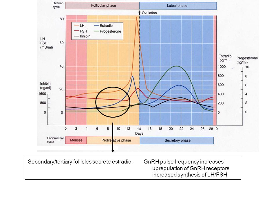 Secondary/tertiary follicles secrete estradiol GnRH pulse frequency increases