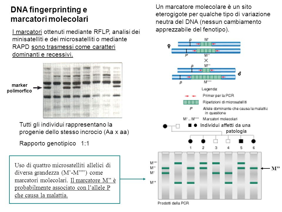 DNA fingerprinting e marcatori molecolari