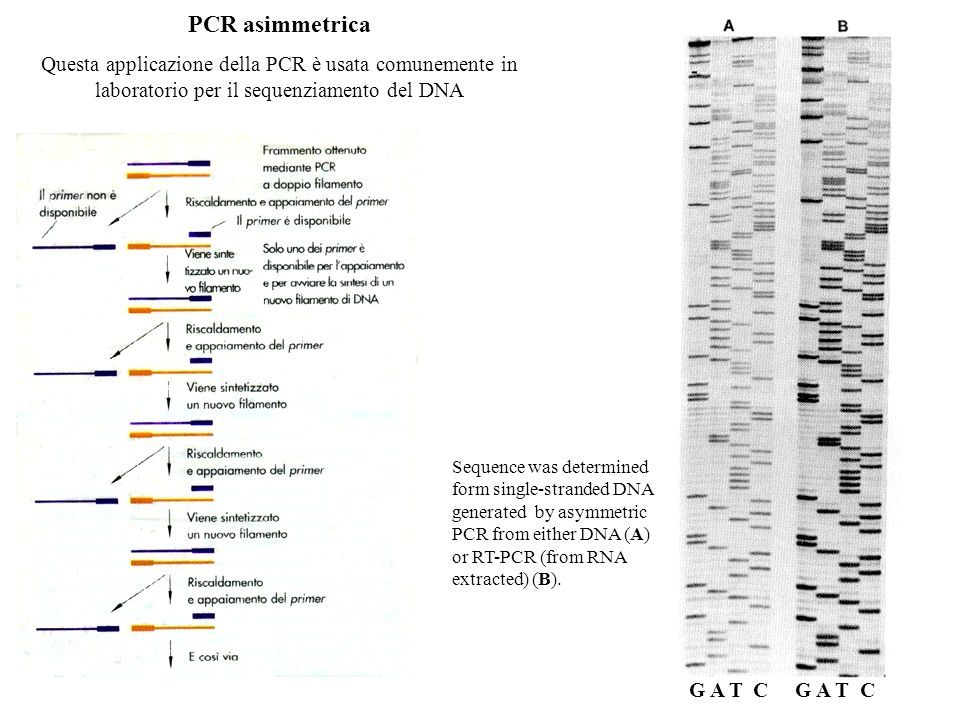 PCR asimmetrica Questa applicazione della PCR è usata comunemente in laboratorio per il sequenziamento del DNA.