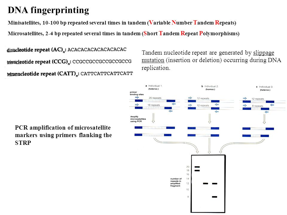 DNA fingerprinting Minisatellites, 10-100 bp repeated several times in tandem (Variable Number Tandem Repeats)