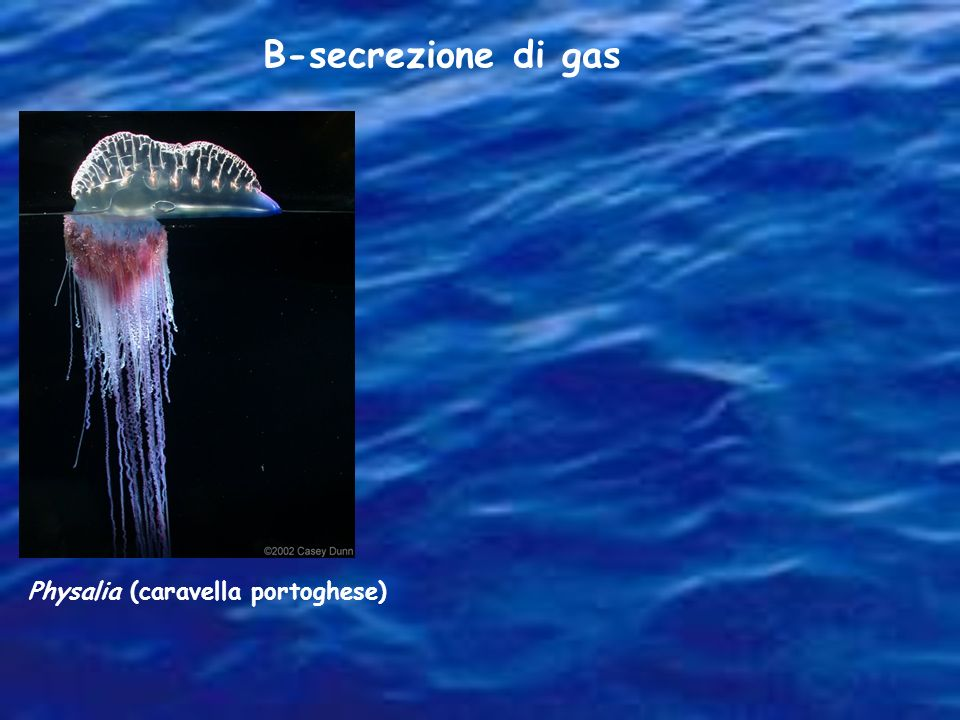 B-secrezione di gas Physalia (caravella portoghese)