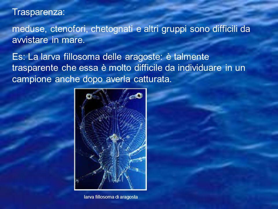 Trasparenza: meduse, ctenofori, chetognati e altri gruppi sono difficili da avvistare in mare.