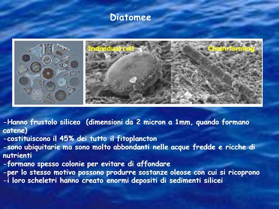 Diatomee -Hanno frustolo siliceo (dimensioni da 2 micron a 1mm, quando formano catene) -costituiscono il 45% dei tutto il fitoplancton.