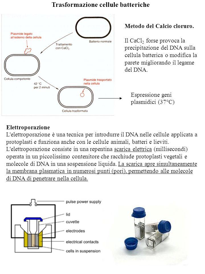 Trasformazione cellule batteriche