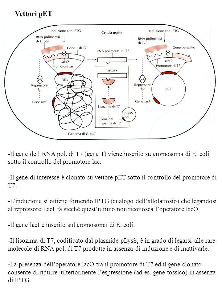Vettori pET Il gene dell'RNA pol. di T7 (gene 1) viene inserito su cromosoma di E. coli sotto il controllo del promotore lac.