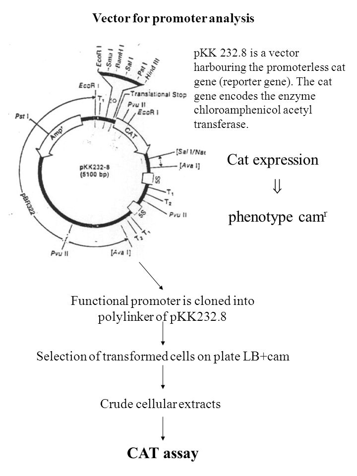 Cat expression  phenotype camr CAT assay Vector for promoter analysis