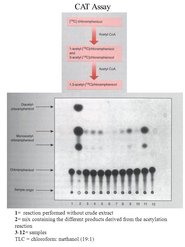 CAT Assay 1= reaction performed without crude extract