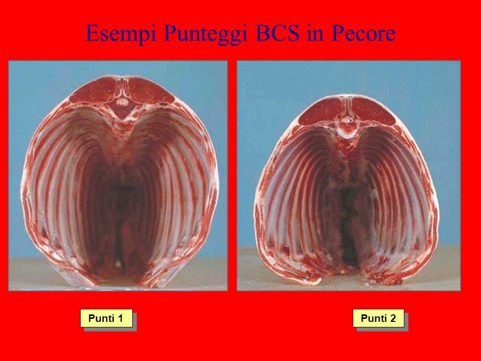 Esempi Punteggi BCS in Pecore