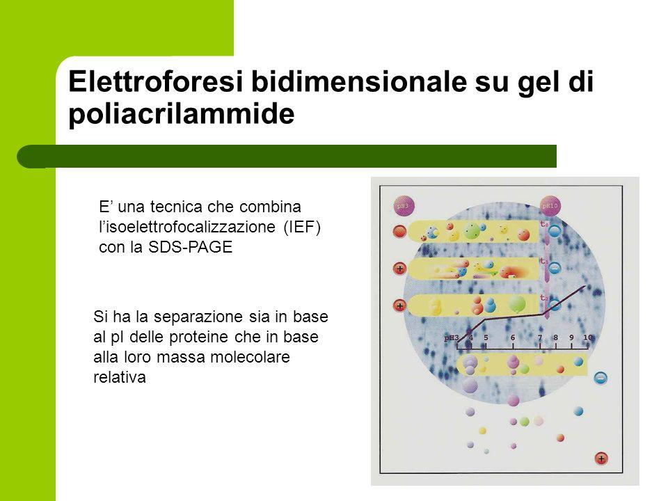 Elettroforesi bidimensionale su gel di poliacrilammide