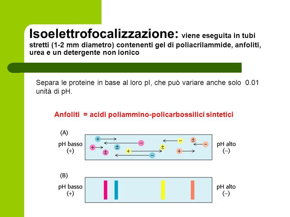 Isoelettrofocalizzazione: viene eseguita in tubi stretti (1-2 mm diametro) contenenti gel di poliacrilammide, anfoliti, urea e un detergente non ionico