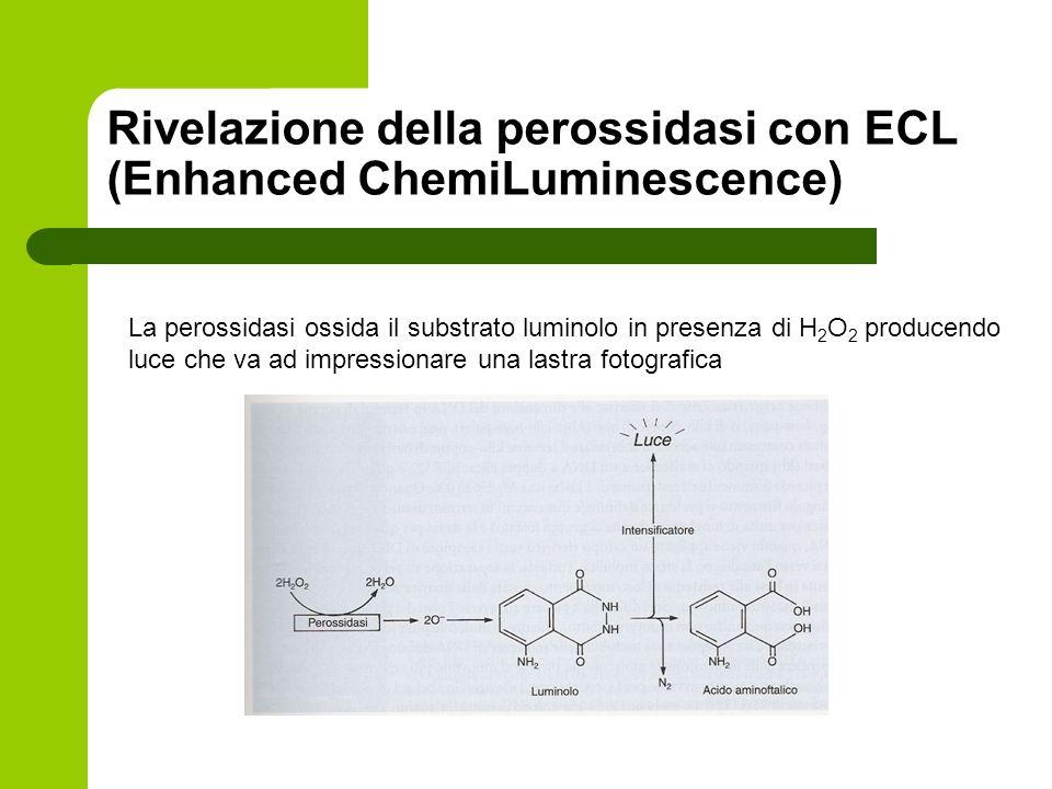 Rivelazione della perossidasi con ECL (Enhanced ChemiLuminescence)