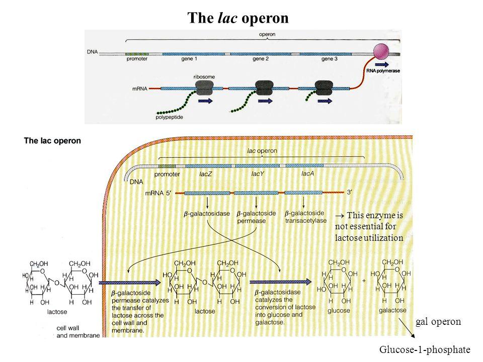 The lac operon gal operon Glucose-1-phosphate