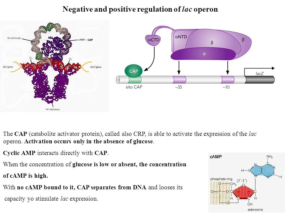 Negative and positive regulation of lac operon