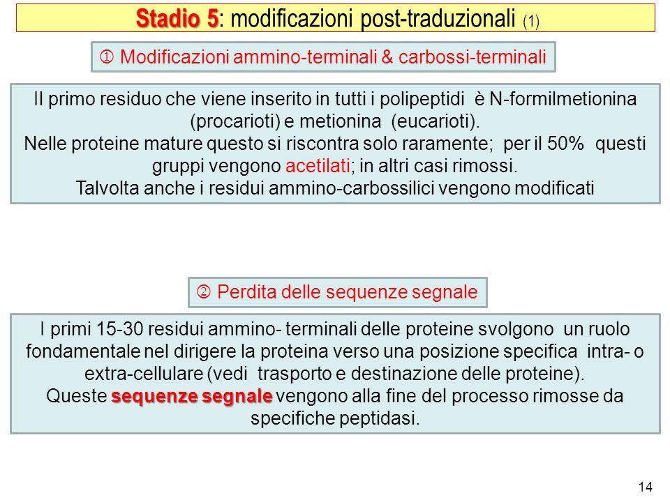 Stadio 5: modificazioni post-traduzionali (1)