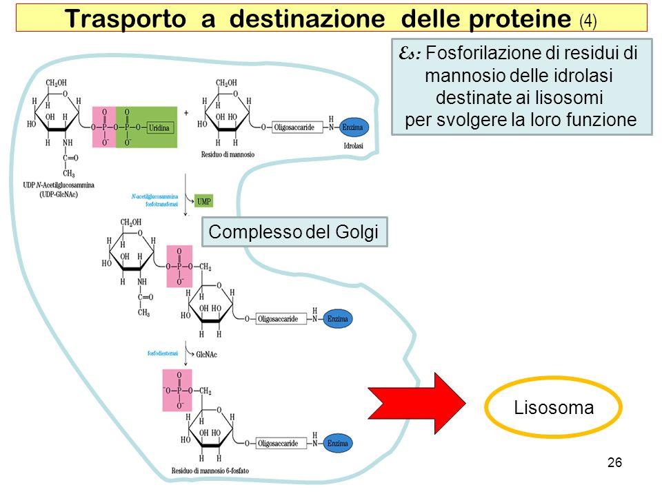 Trasporto a destinazione delle proteine (4)
