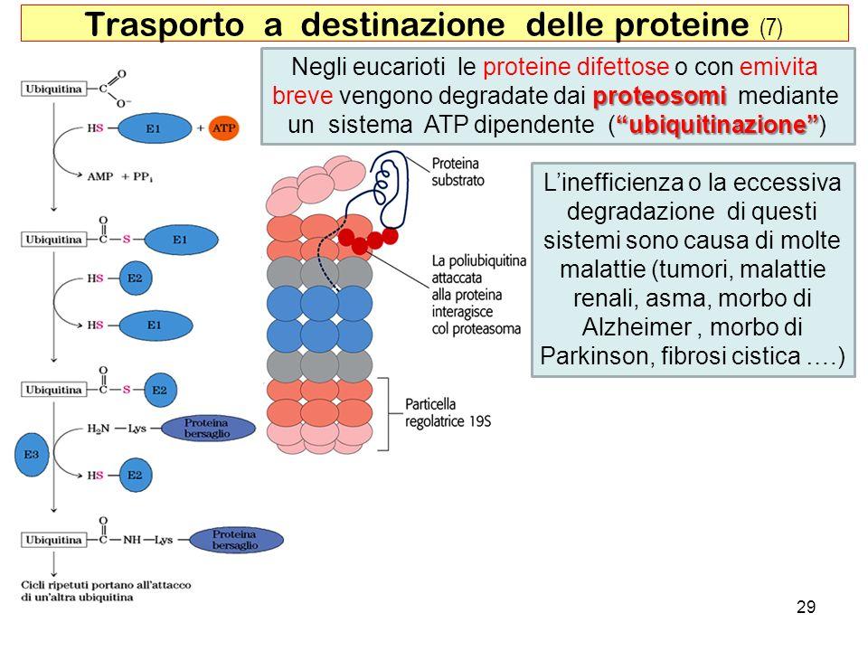 Trasporto a destinazione delle proteine (7)