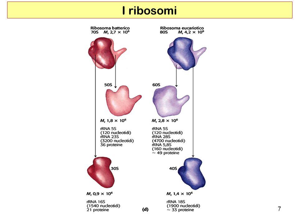 I ribosomi