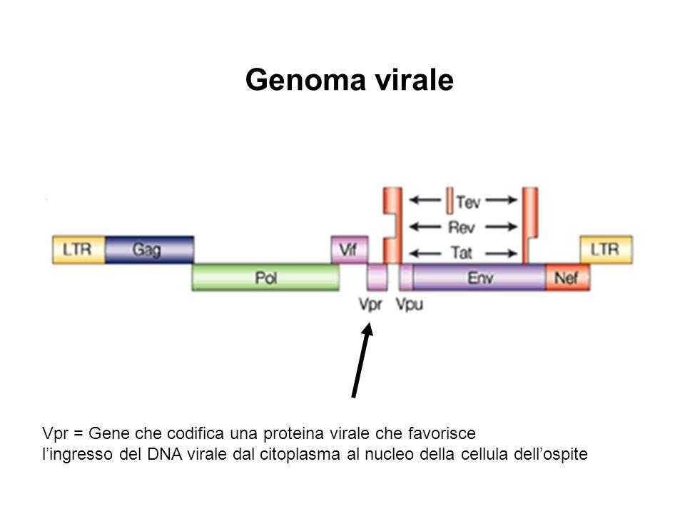 Genoma virale Vpr = Gene che codifica una proteina virale che favorisce.