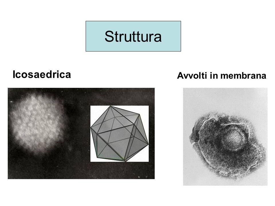 Struttura Icosaedrica Avvolti in membrana