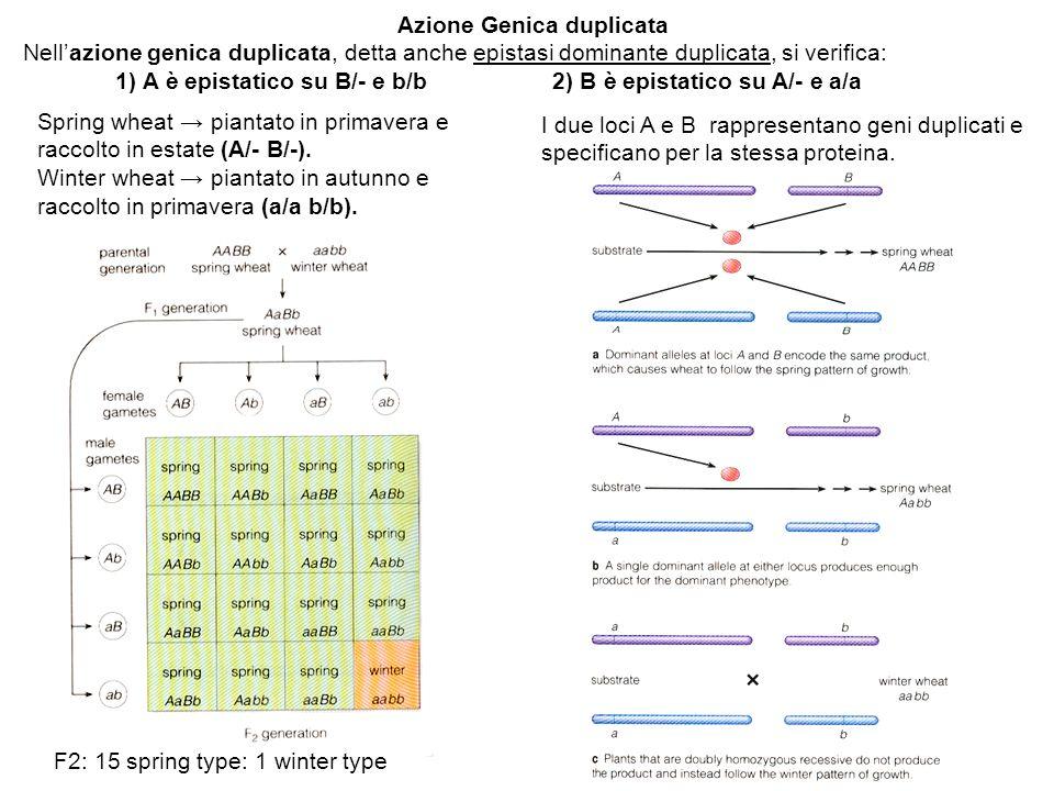 Azione Genica duplicata