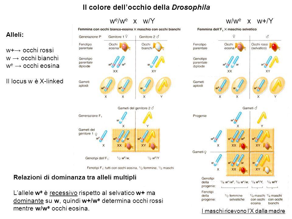 Il colore dell'occhio della Drosophila