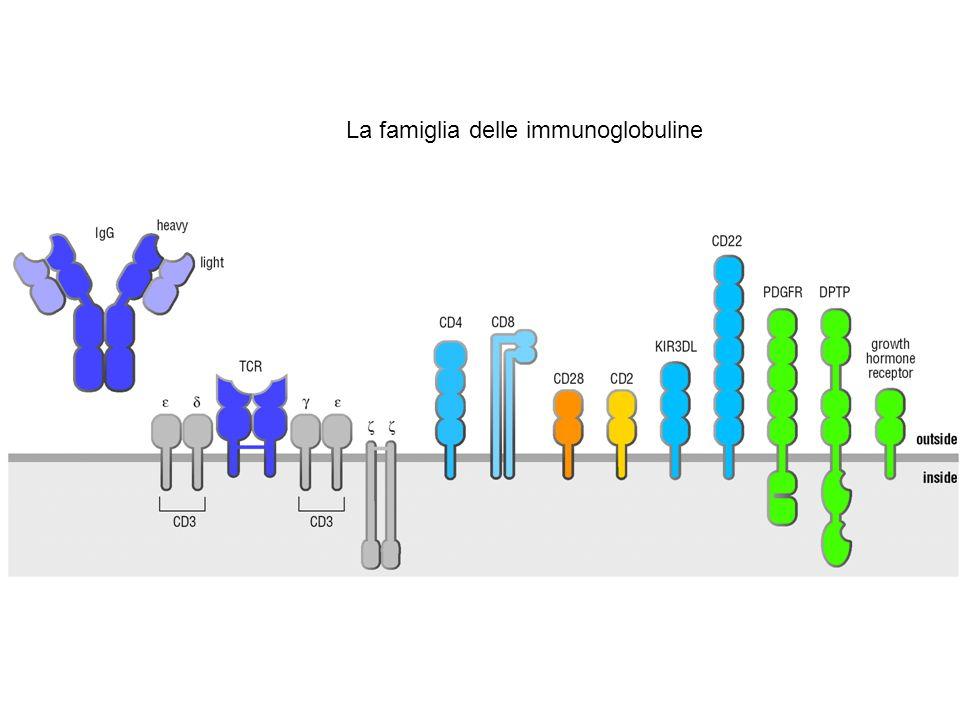 La famiglia delle immunoglobuline