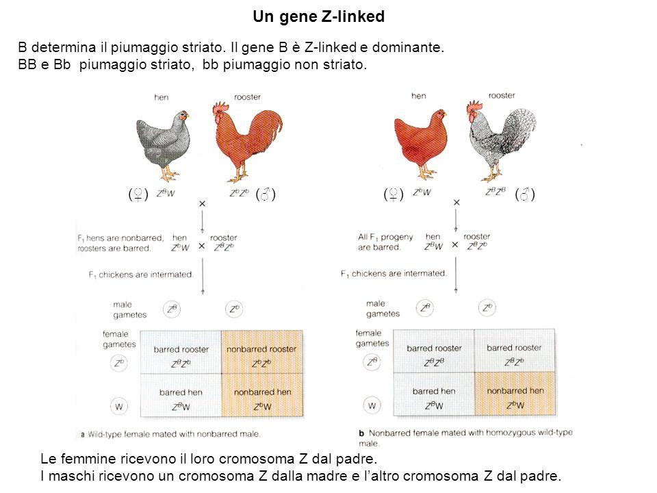 Un gene Z-linked B determina il piumaggio striato. Il gene B è Z-linked e dominante. BB e Bb piumaggio striato, bb piumaggio non striato.
