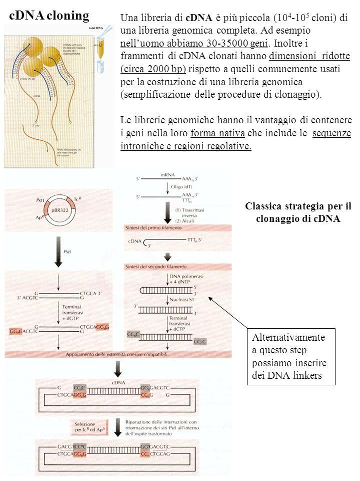 Classica strategia per il clonaggio di cDNA