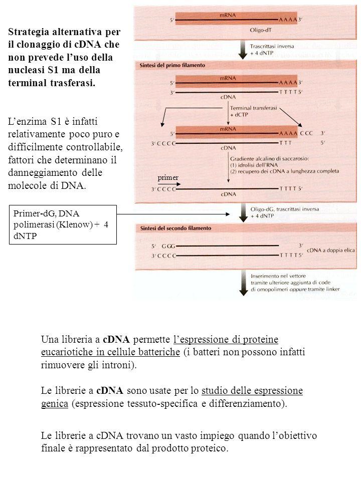 Strategia alternativa per il clonaggio di cDNA che non prevede l'uso della nucleasi S1 ma della terminal trasferasi.