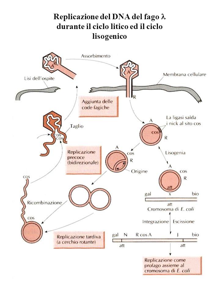 Replicazione del DNA del fago l durante il ciclo litico ed il ciclo lisogenico