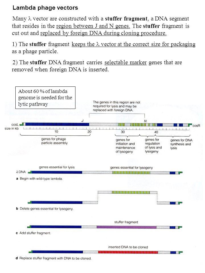 Lambda phage vectors