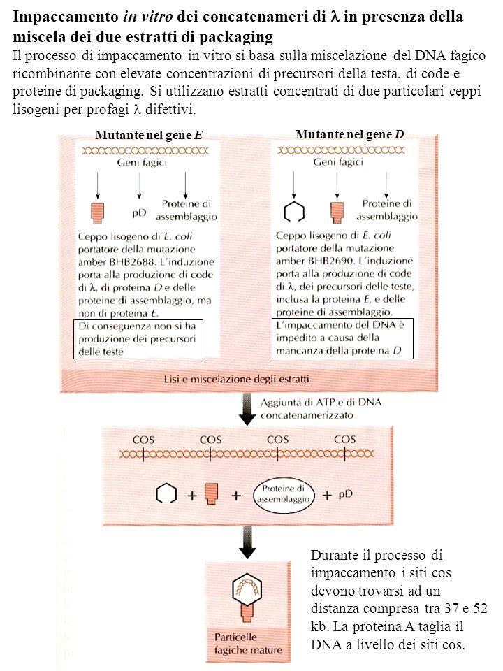 Impaccamento in vitro dei concatenameri di l in presenza della miscela dei due estratti di packaging