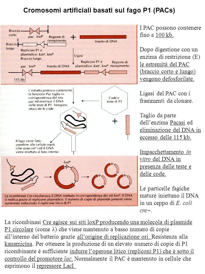 Cromosomi artificiali basati sul fago P1 (PACs)