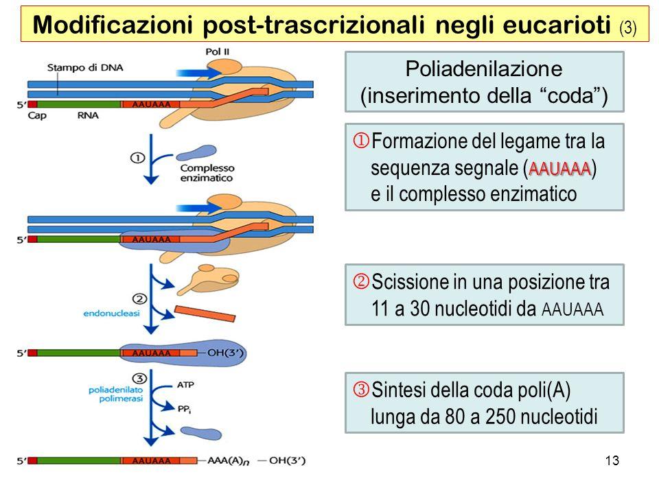 Modificazioni post-trascrizionali negli eucarioti (3)