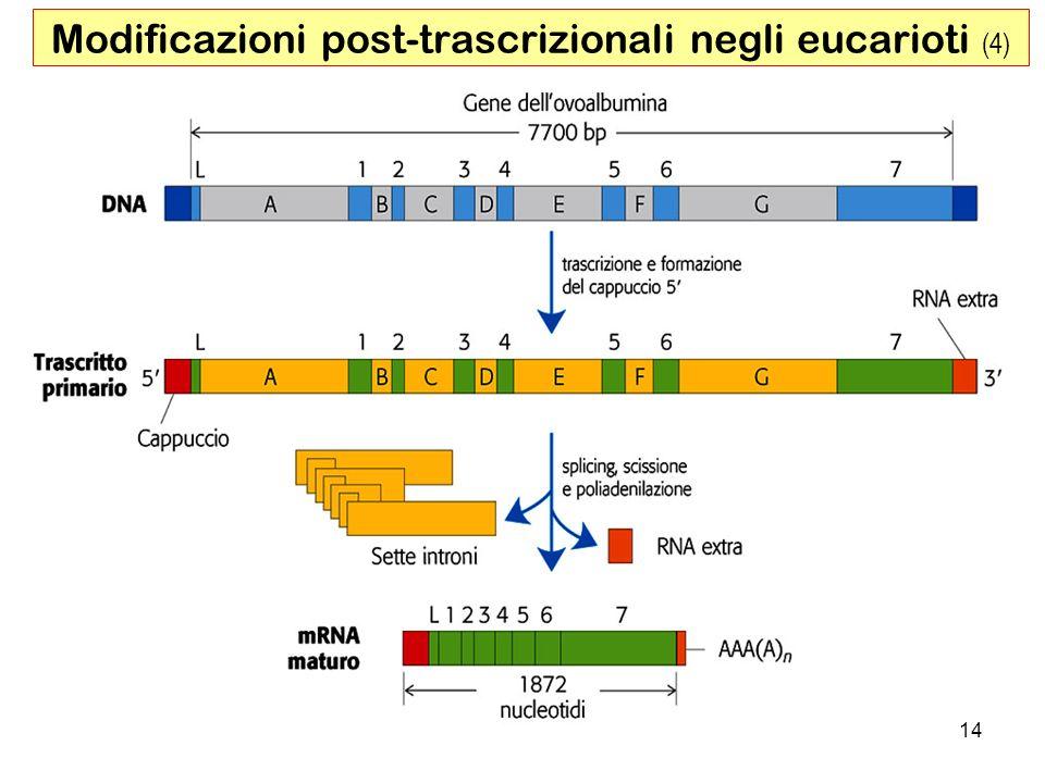 Modificazioni post-trascrizionali negli eucarioti (4)