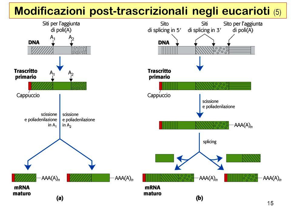 Modificazioni post-trascrizionali negli eucarioti (5)